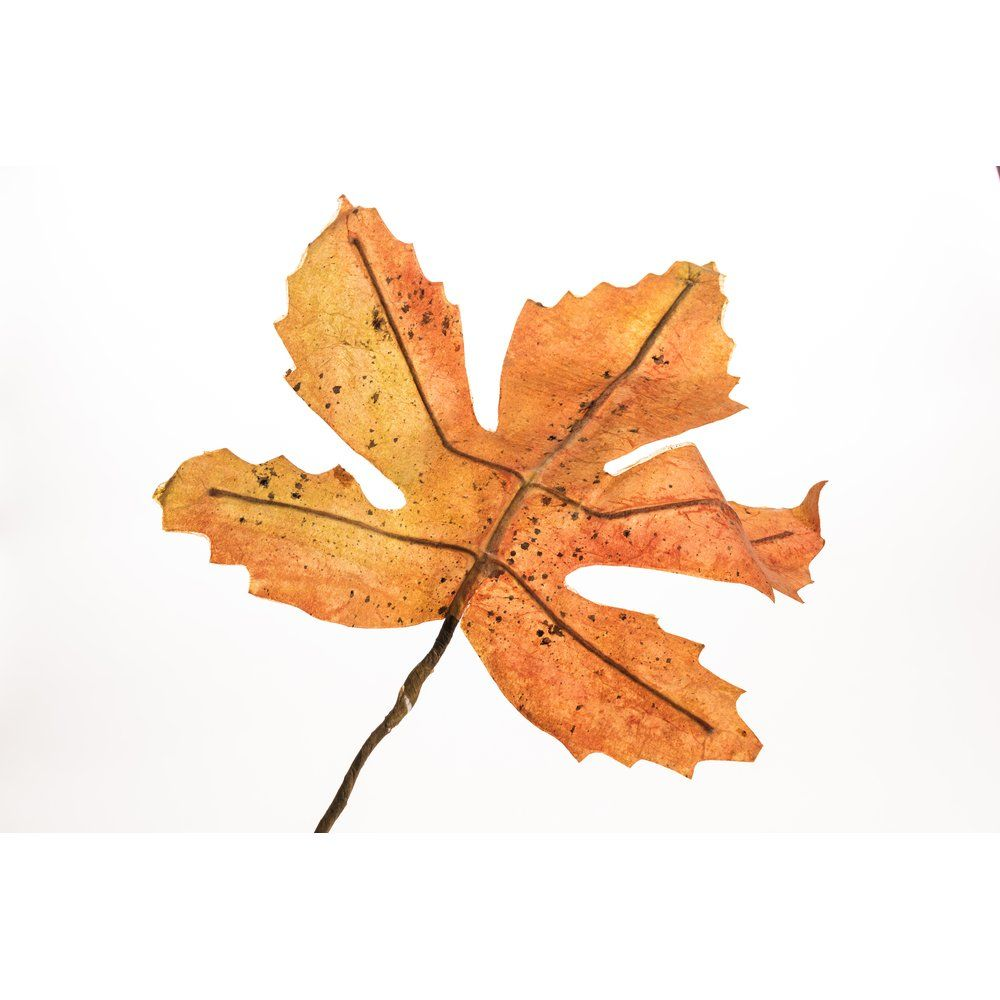 Feuille orange d'érable ou de vigne 44cm 2 modèles possibles (photo)